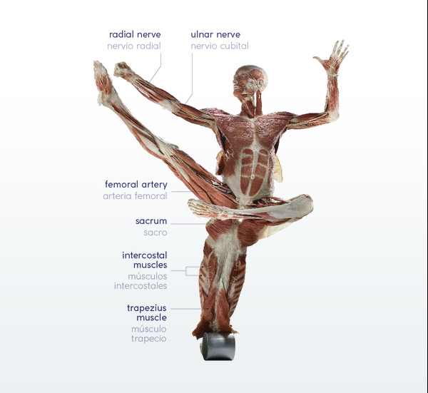 Body Worlds Decoded | The Tech